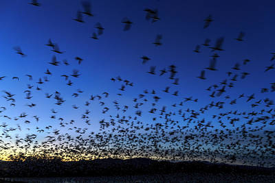 Geese Taking Off After Sunset, Bosque Poster