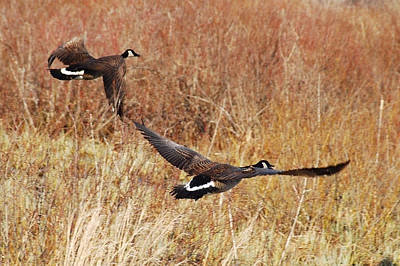 Poster featuring the photograph Geese - Taking Off In Flight by Janice Adomeit