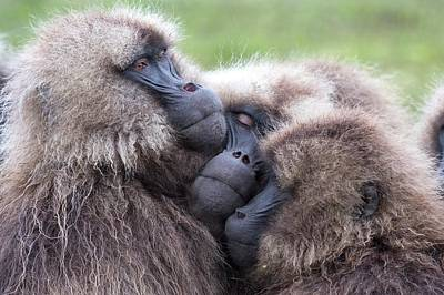 Gelada Baboons Huddled To Conserve Heat Poster