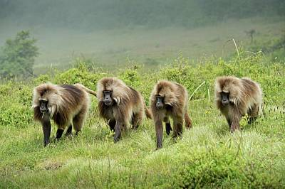 Gelada Batchelor Group Patrolling Poster