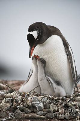 Gentoo Penguin And Chicks Poster by Dr P. Marazzi
