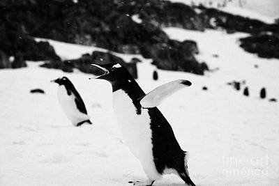 Gentoo Penguin Cooling Down With Wings Outstretched Calling In Colony On Cuverville Island Antarctic Poster by Joe Fox