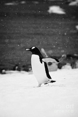 Gentoo Penguin Cooling Down With Wings Outstretched Walking On Cuverville Island Antarctica Poster by Joe Fox