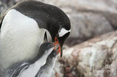 Gentoo Penguin Feeding Its Chicks Poster by Dr P. Marazzi