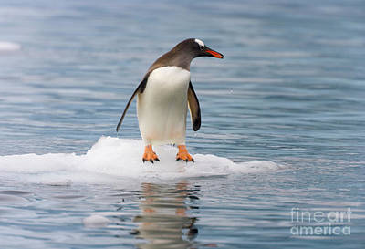 Gentoo Penguin On Ice Floe Antarctica Poster by Yva Momatiuk John Eastcott