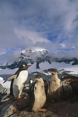 Gentoo Penguin With Chicks Antarctica Poster by Tui De Roy