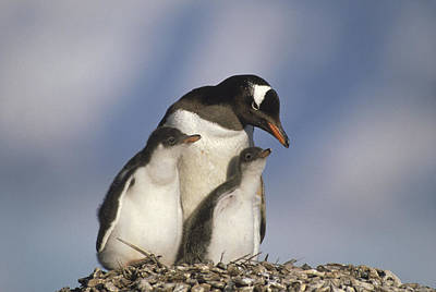 Gentoo Penguin With Two Chicks Poster by Gerry Ellis