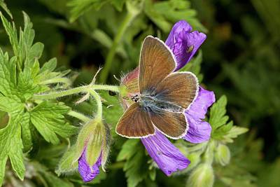 Geranium Argus Butterfly On Cranesbill Poster by Bob Gibbons