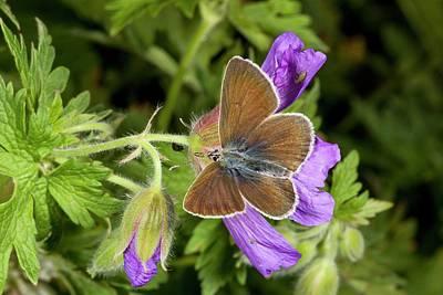 Geranium Argus Butterfly On Cranesbill Poster