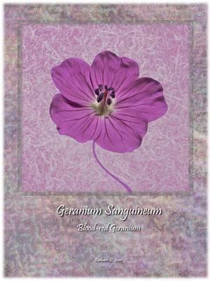 Geranium Purple Poster 4 Poster by Barbara St Jean