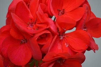 Geranium Red Poster