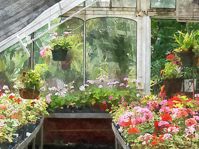 Geraniums In Greenhouse Poster