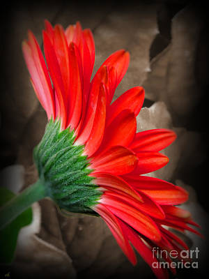 Gerber Daisy Bashful Red Poster by Ella Kaye Dickey