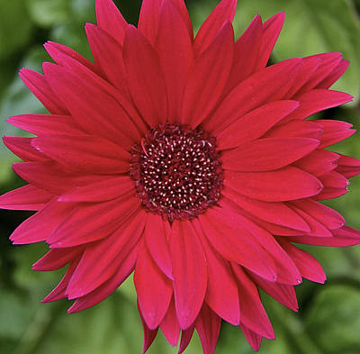 Gerber Daisy In Red Poster