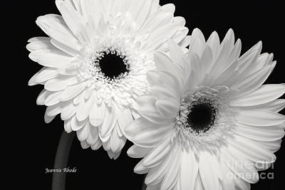 Gerbera Daisy Sisters Poster by Jeannie Rhode