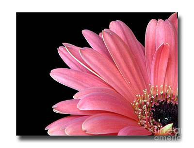 Poster featuring the photograph Gerbera Encore by Chris Anderson