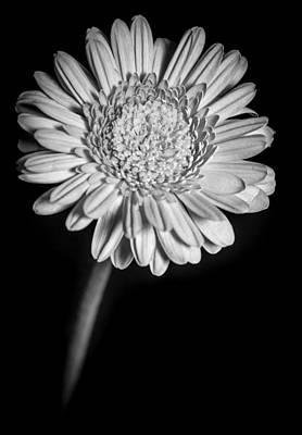 Gerbera In Black And White Poster