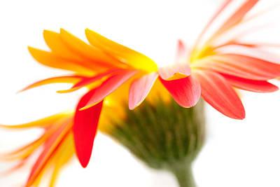 Gerbera Mix Crazy Flower - Orange Yellow Poster by Natalie Kinnear
