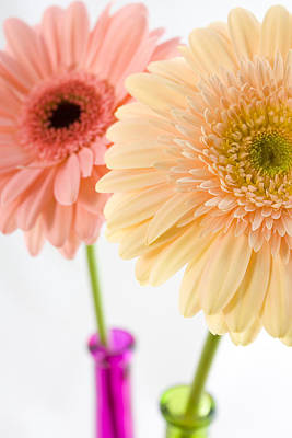 Peach And Pink Gerbera Poster