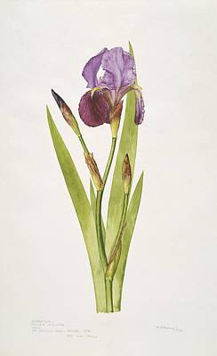 German Iris Flower, 20th Century Poster by Science Photo Library