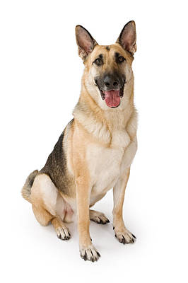 German Shepherd Dog Isolated On White Poster by Susan Schmitz