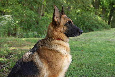 German Shepherd Profile Poster by Sandy Keeton