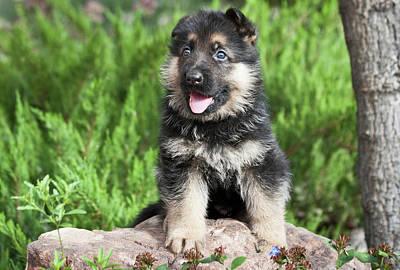 German Shepherd Puppy Sitting On A Rock Poster