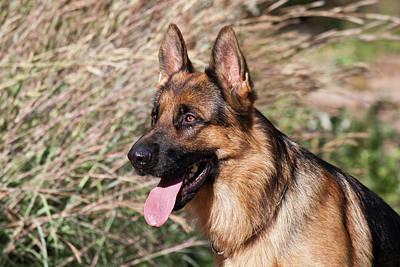 German Shepherd Sitting Alert Next Poster