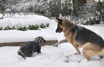 Poster featuring the photograph German Shepherds Playing In The Snow by Tanya  Searcy