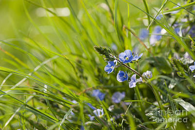 Germander Speedwell Poster