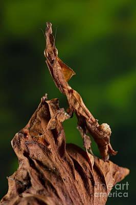 Ghost Or Dead Leaf Mantis Poster by Francesco Tomasinelli