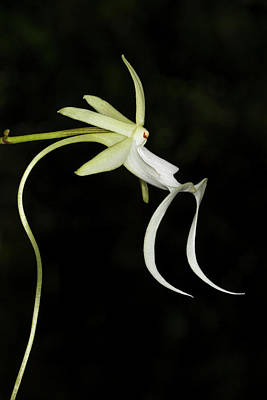 Ghost Orchid In Bloom, Polyrrhiza Poster