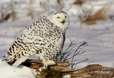 Ghostly Presence- Snowy Owl Poster by Inspired Nature Photography Fine Art Photography