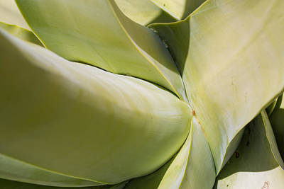 Giant Agave Abstract 9 Poster