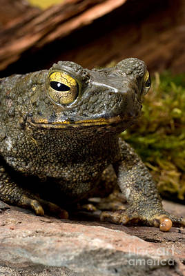Giant Asian Toad Poster by Frank Teigler