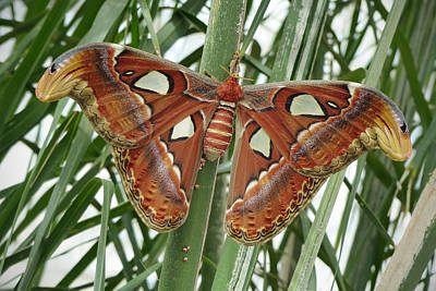 Giant Atlas Moth Poster