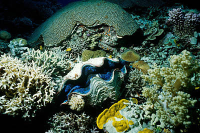 Giant Clam Poster by J. W. Mowbray