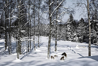 Giant Dogs Playing In The Snow Poster by Christian Lagereek