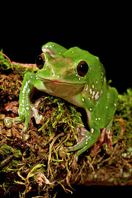 Giant Gliding Treefrog, Polypedates Sp Poster