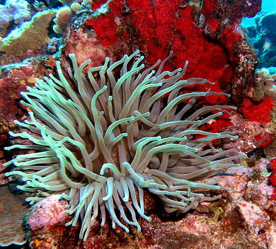 Giant Green Sea Anemone Against Red Coral Poster by Amy McDaniel