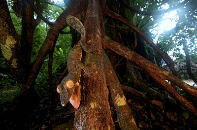 Giant Leaf-tailed Gecko (uroplatus Poster