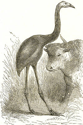 Giant Moa, Dinornis Poster by Science Source