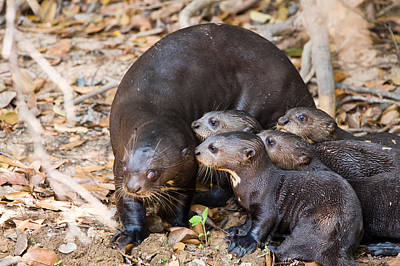 Giant Otter Pteronura Brasiliensis Poster by Panoramic Images