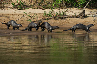 Giant Otter (pteronura Brasiliensis Poster by Pete Oxford