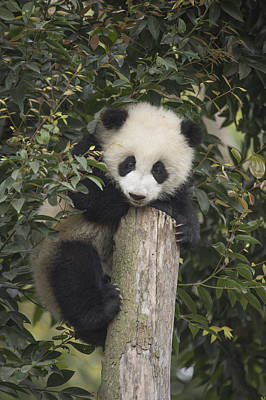 Giant Panda Cub Chengdu Sichuan China Poster