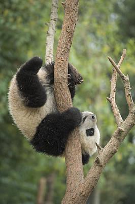 Giant Panda Cub In Tree Chengdu Sichuan Poster