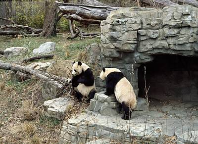 Giant Pandas In Captivity Poster by Science Photo Library