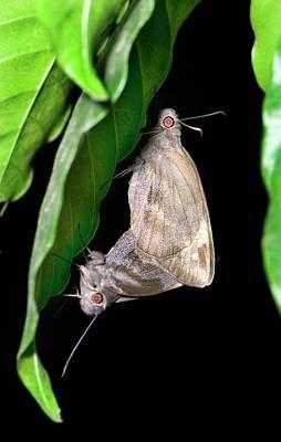 Giant Redeye Butterflies Mating Poster