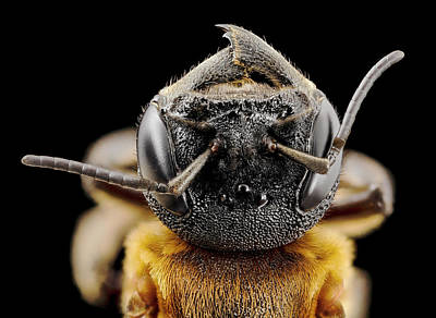 Giant Resin Bee Poster by Us Geological Survey