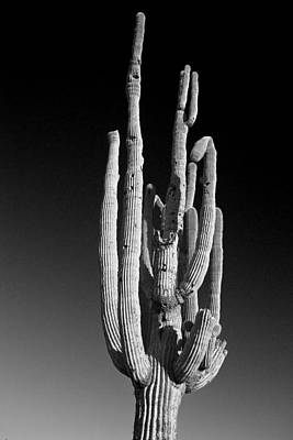 Giant Saguaro Cactus Portrait In Black And White Poster by James BO  Insogna